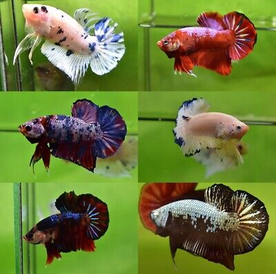 LIVE Betta Fish HMPK Male 3.5 month (10% donated for charity)
