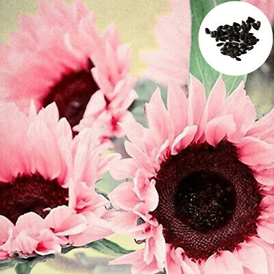 15 Seeds Rare Pink Sunflower Helianthus Seeds Garden Bonsai Plant Home Decor