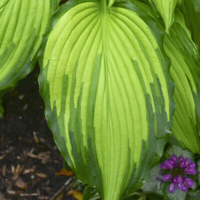Hosta Empress Wu Large Huge Big Giant Disease Free 3 Pot 1 Live