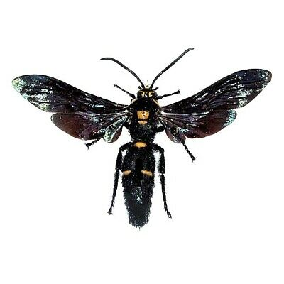 Real Megascolia Procer Male Hornet Wasp Indonesia Mounted Wings Spread