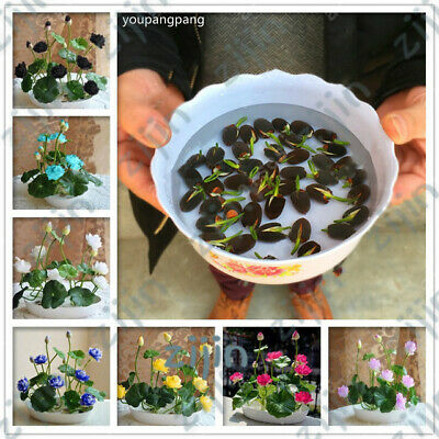 10 Pcs Bowl lotus Bonsai Hydroponic Plants Aquatic Plants Flower Bonsai