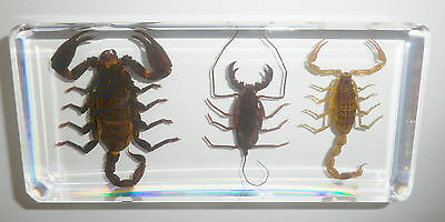 3 Scorpion Collection Set Golden & Whip and Black Scorpion Specimen Learning Aid