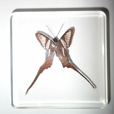 White Dragontail Lamproptera curia Butterfly in Clear Block Education Specimen