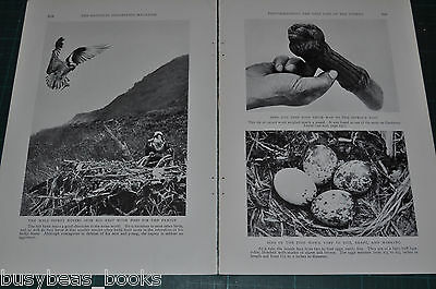 1932 magazine article, PHOTOGRAPHING THE NEST LIFE OF THE OSPREY