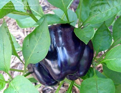 Purple Beauty Bell Pepper Seeds by Zellajake Many Sizes Rare FREE SHIP #28