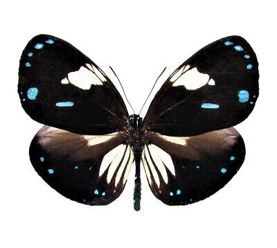 One Real Butterfly Blue Black White Euploea Rhadamanthus Malaysia Wings Closed