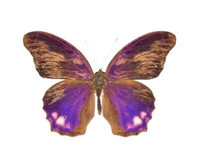 One Real Butterfly Pink Purple Terinos Terpander Malaysia Wings Closed