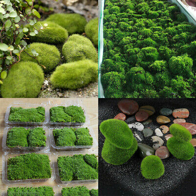 Natural Micro Moss Aquatic Live Plants Aquarium Fish Tank Landscape DIY Decor