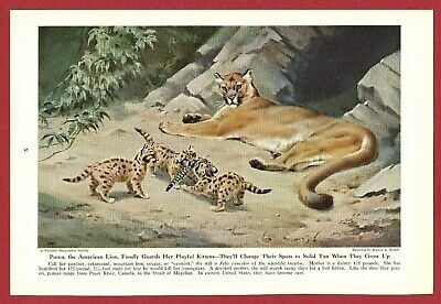 "1943 Wild Cat Print Illustration ~ PUMA by Walter Weber ~ The ""American Lion"""