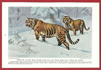 1943 Wild Cat Print Illustration ~ SIBERIAN TIGER by Walter Weber ~ Largest Cat