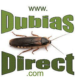 Small Dubia Roaches for Bearded Dragons