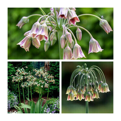 PRE-ORDER - Nectaroscordum Siculum x 5 Bulbs. Bright,tall and exotic-looking
