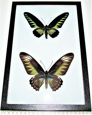 Real Framed Birdwing Butterflies Green Trogonoptera Brookiana Pair Indonesia