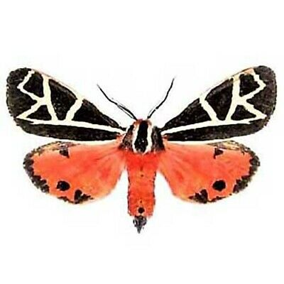 One Real Tiger Moth Pink Grammia Placentia Florida Usa