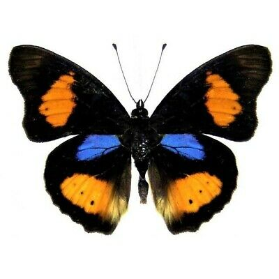 One Real Butterfly Precis Westermanni Purple Orange Africa
