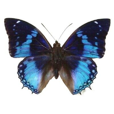 One Real Butterfly Blue Charaxes Smaragdalis Rca Africa