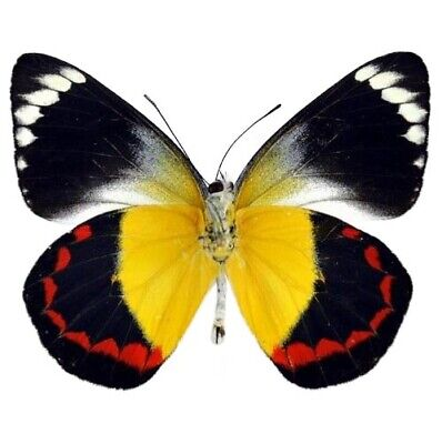 One Real Butterfly Black Red Yellow Delias Timorensis Indonesia