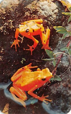C20-6719, Two Orange Frogs With Black Spots, .