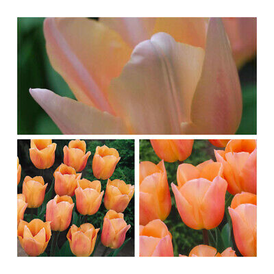Apricot Beauty x 10 Tulip Bulbs. Beautiful Salmon Pink Spring Flower