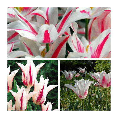 Marilyn Lily Tulip x 10 Bulbs.Pretty White and Cherry-Red Flowers.