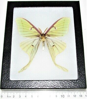 Real Framed Green North American Actias Lunesta Luna Moth Male L3