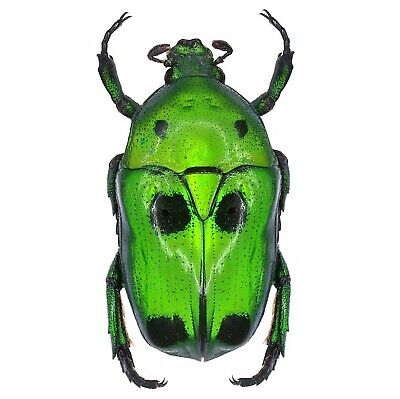 One Real Green Black Scarab Beetle Heterorrhina Sexmaculata Unmounted Packaged