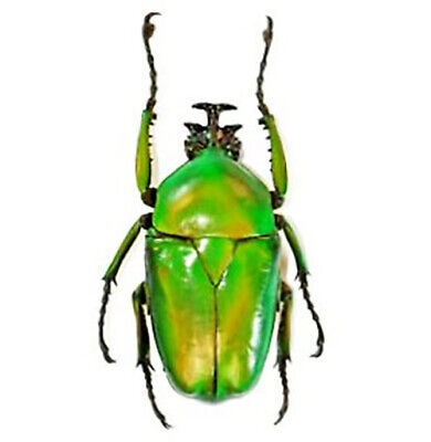 One Real Green Dicranorrhina Micans Scarab Beetle Congo Africa