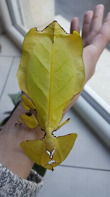 """Eggs of leaf insect """"Phyllium giganteum"""" GOLD x30 / stick insect / phasmids"""