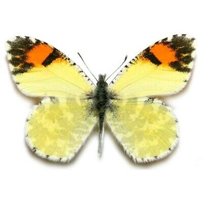 One Real Butterfly Yellow Anthocharis Pima Orangetip Az Unmounted Wings Closed