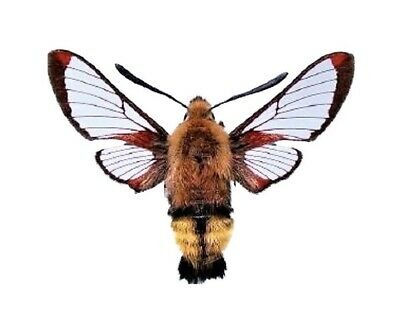 One Real Hemaris Thetis Hummingbird Day Flying Moth Usa Unmounted Wings Closed
