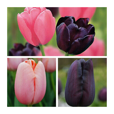PRE-ORDER -  Plum Sorbet Collection x 1.Beautiful Purple and Pink Spring Tulips