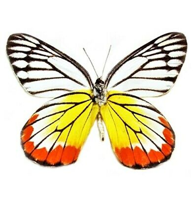 One Real Butterfly Yellow Red White Delias Hyparete Indonesia Wings Closed