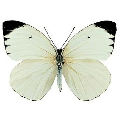 One Real Butterfly Black White Ascia Buniae Peru Unmounted Wings Closed
