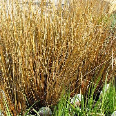 Ornamental Grass Leatherleaf Sedge Grass Carex Lime//Green 20 Seeds