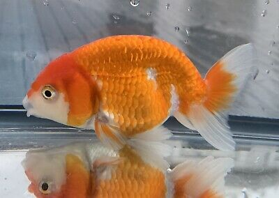 FANCY GOLDFISH - 7 5cm Red & White Ranchu - Courier