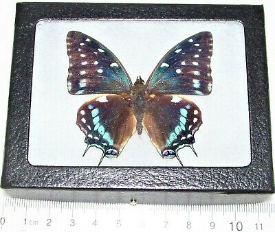 Real Framed Butterfly Blue Charaxes Etesipe Africa