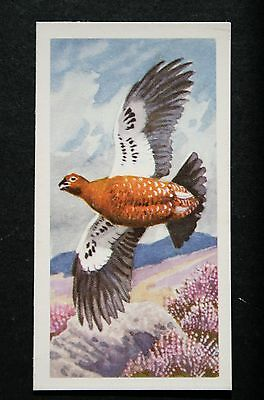 Red Grouse  Vintage Illustrated Card   VGC
