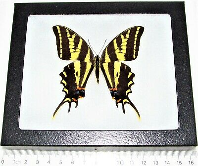 Real Framed Butterfly Papilio Pilumnus Three Tailed Swallowtail El Salvador P2