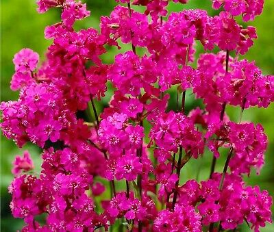 Large Cottage Garden Lychnis Hardy Perennial Plant NOT SEEDS. (B)