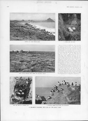 1905  Antique Print - CORNWALL Scilly Isles Sea Birds Puffins Guillemots  (102)