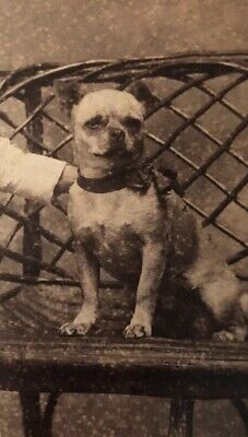 Vintage 1800s Cabinet Card Photo Adorable Toddler With PUG DOG Puggle Ribbon