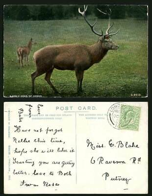 Stag Reindeer Deer Animals A Noble Head of Horns C Reid 1905 Old Colour Postcard