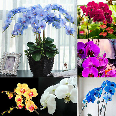 20 Seeds Butterfly Orchid Seed Phalaenopsis Amabilis Flower Garden Bonsai Plant