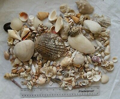 Large collection of Florida Sea Shells over 1400 gsm