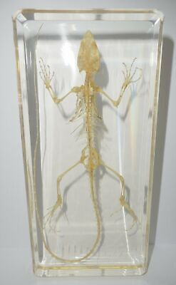 Oriental Garden Lizard Skeleton in Amber Clear Block Education Animal Specimen