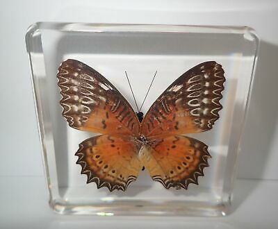Red Lacewing Female Butterfly Cethosia biblis Clear Block Education Specimen