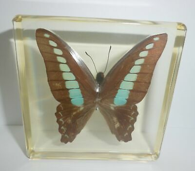 Common Bluebottle Butterfly in Amber Clear Paperweight Education Insect Specimen