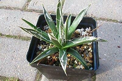 crassispina Plant 25 Seeds #Succulent Agave salmiana subsp