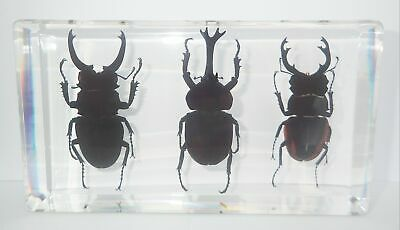 3 Longhorn Stag Beetle Collection Set KCD007 in clear BlocK Education Specimen