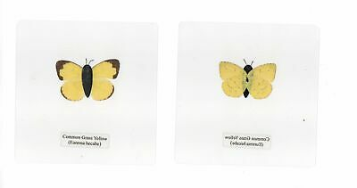 Laminated Butterfly Common Grass Yellow Eurema hecabe in 110x110 mm sheet